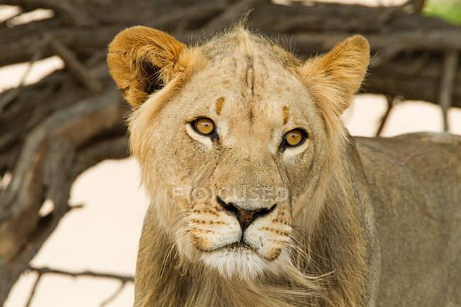 Portrait des afrikanischen Löwen Wegsehen in Afrika — Stockfoto