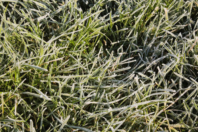 Ледяная трава, крупным планом — стоковое фото