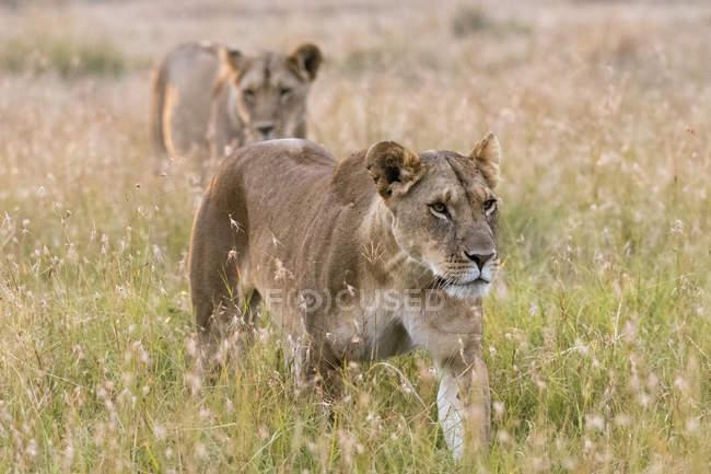 Двома молодими левиці ходити в зеленій траві в Масаї Мара, Кенія — стокове фото