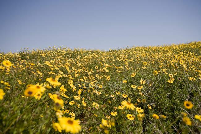 Поле жовтий ромашки з синім безхмарне небо, Каліфорнія, США — стокове фото