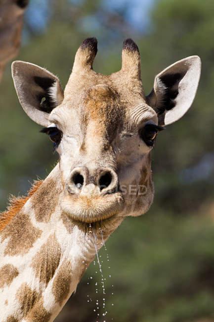 Museau d'une eau potable de girafe, gros plan — Photo de stock