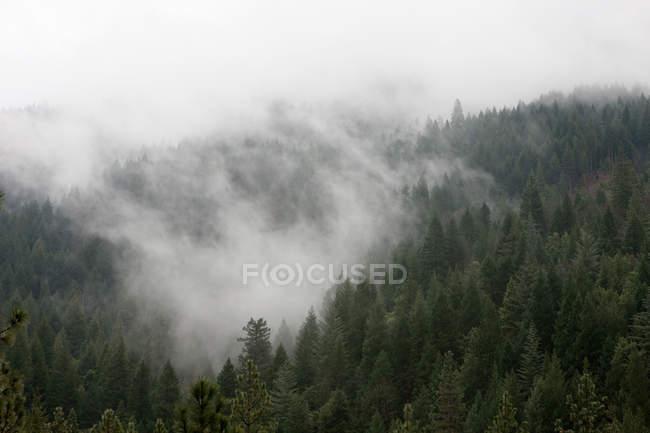 Туман над лесом горы высотой елей — стоковое фото
