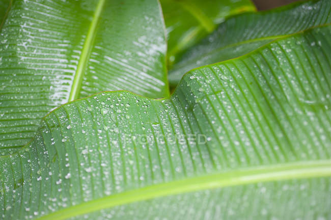 Close-up view of fresh green wet banana leaves with water drops — Stock Photo