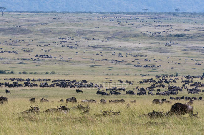 Eastern white-bearded wildebeests migration, Masai Mara National Reserve, Kenya — Stock Photo