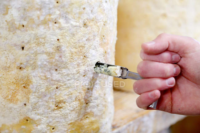 Close up view of Cheese maker hand coring Stilton to check mold formation — Stock Photo