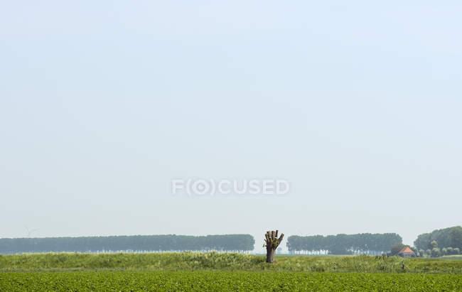 Pruned willow tree in field, Kruisdijk, Zeeland, Netherlands, Europe — Stock Photo