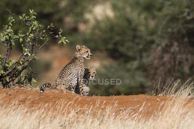 Два Гепард дитинчат, Національний заповідник Самбур, Кенія — стокове фото