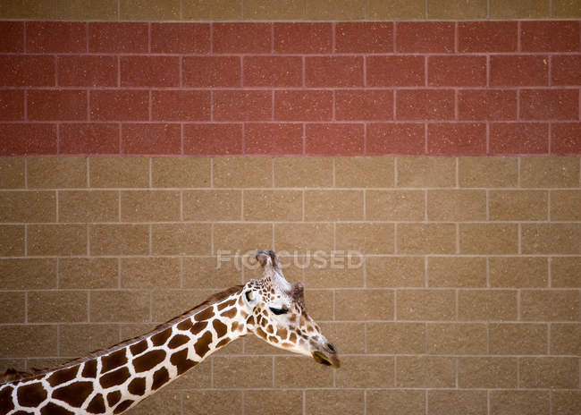 Вид сбоку головы и шеи жирафа на фоне плитки — стоковое фото