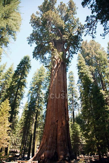 Секвоядендрон гігантський дерев, Національний парк Секвойя, Каліфорнія, США — стокове фото