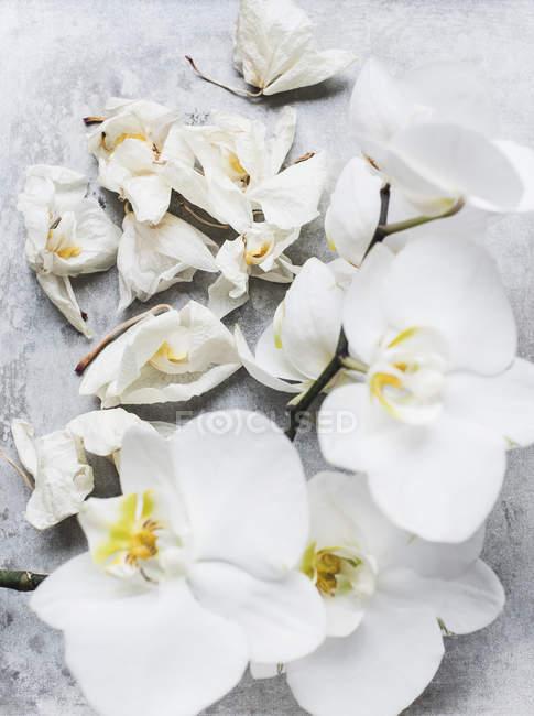 Belas flores delicadas brancas da orquídea em close-up — Fotografia de Stock