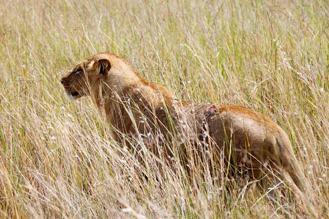 Young Female Lion in bush, Botswana — стоковое фото
