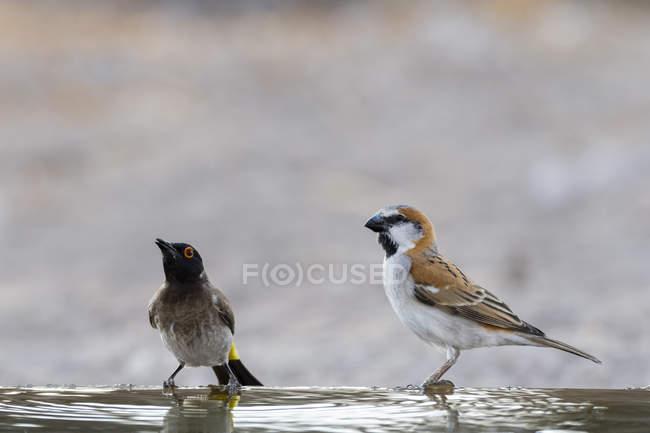 Two small birds sitting on water in Kalahari, Botswana — Stock Photo