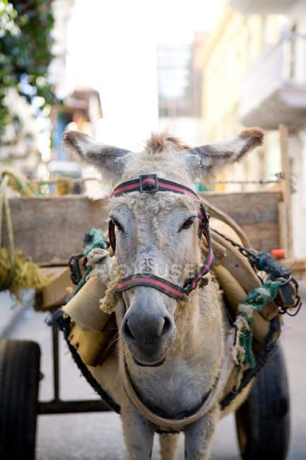 Vista frontale dell'asino che tira carrello, colombia — Foto stock