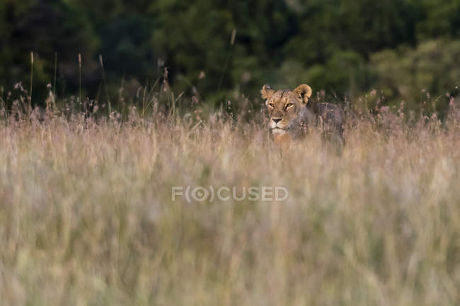 Lioness searching for cubs in tall grass, Masai Mara, Kenya — Stock Photo