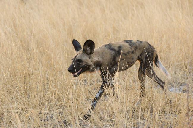 Perro salvaje africano en Savuti, Parque Nacional de Chobe, Botswana - foto de stock