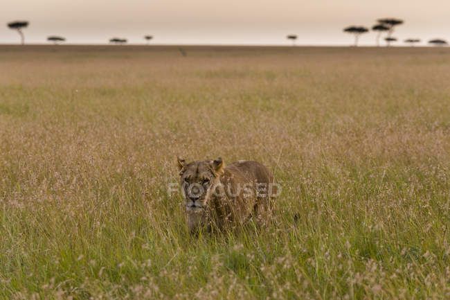 One lioness walking in green grass in Masai Mara, Kenya — Stock Photo
