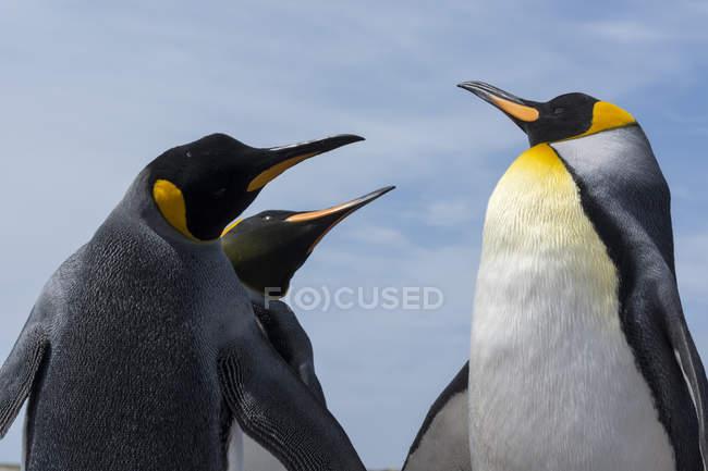 King penguins fighting, Port Stanley, Фолклендские острова, Южная Америка — стоковое фото