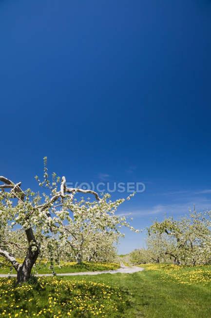 Яблуні в районі orchard на весну із зніміть Синє небо — стокове фото