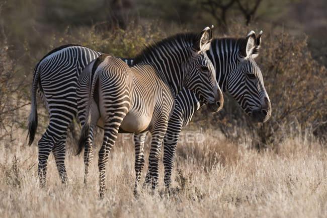 Вид збоку два красиві Grevys зебр в Kalama охорона, Самбур, Кенія — стокове фото