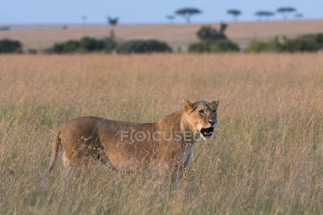 Portrait of lioness in grass in savannah, Masai Mara, Kenya — Stock Photo