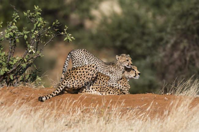 Гепард дитинча грати з матір'ю, Національний заповідник Самбур, Кенія — стокове фото