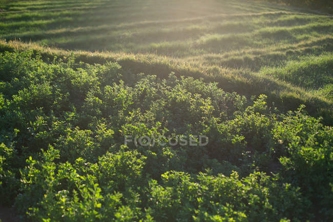 Field with green foliage — Stock Photo