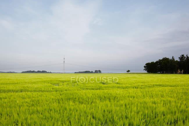 Vista del campo di frumento verde e cielo con le nubi — Foto stock