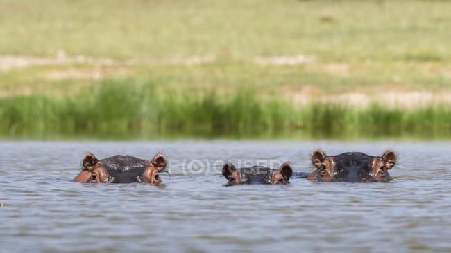 Hippopotamuses swimming in lake Gipe, Tsavo, Kenya — Stock Photo