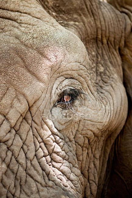 Детали глаз африканского слона с ресницами, крупным планом — стоковое фото
