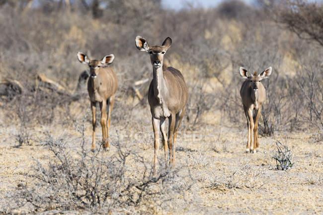 Trois femelles Grand kudus dans le désert du Kalahari, Botswana — Photo de stock