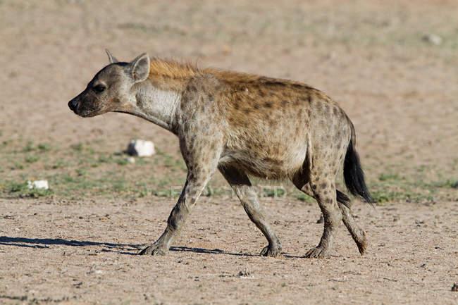 Vista di una iena maculata nel deserto — Foto stock