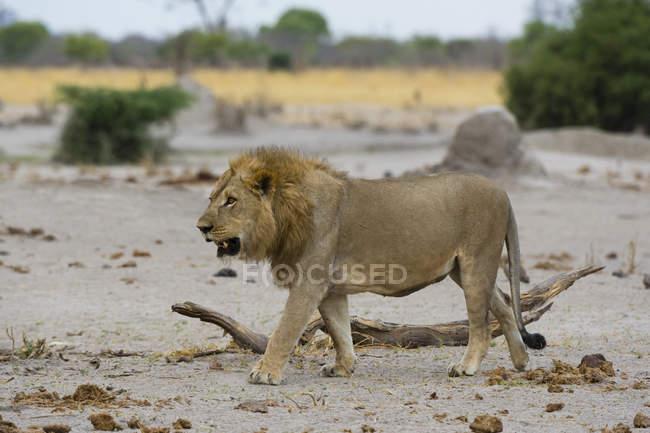 Leone maschio passeggia a Savuti, Parco Nazionale del Coro, Botswana — Foto stock