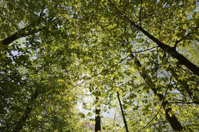 Vista de ângulo baixo das árvores verdes floresta, Canadá — Fotografia de Stock