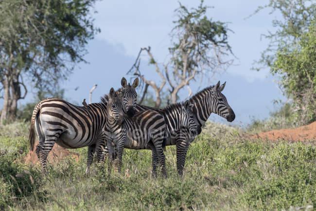 Рівнини зебр стоїть на траві в Тсаво, Кенія — стокове фото