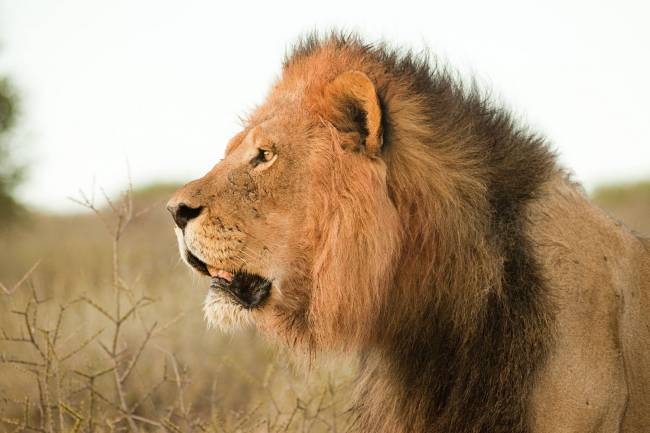Side view of majestic african male lion, head shot — Stock Photo