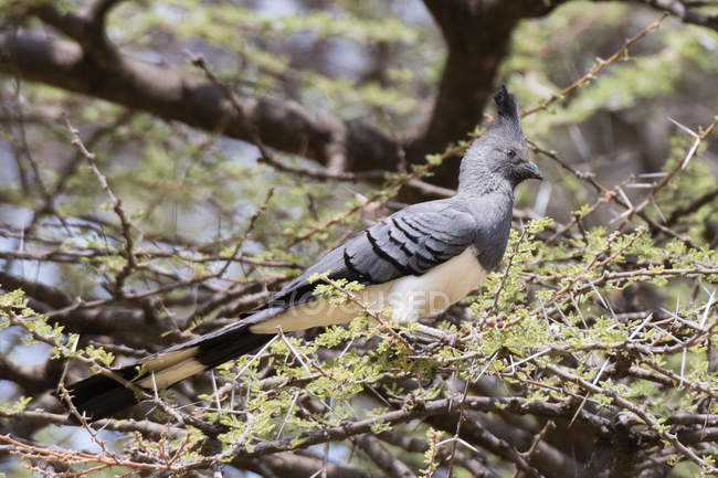 White-bellied go-away-bird sitting on tree in Samburu National Reserve, Kenya — Foto stock