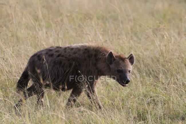 Iena maculata cammina alla riserva nazionale di Masai Mara, Kenya — Foto stock