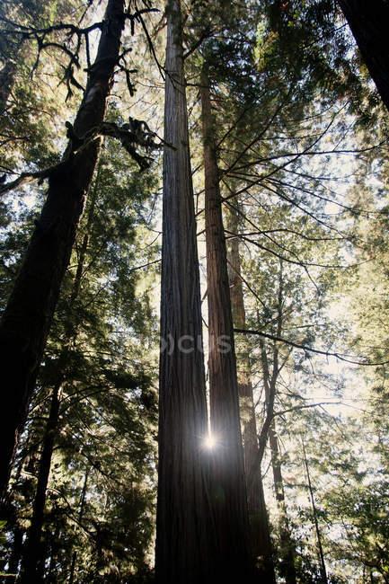 Inquadratura dal basso di Redwood trees, California, Usa — Foto stock