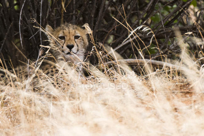 Cheetah cub hiding in tall grass, Samburu National Reserve, Kenya — Stock Photo