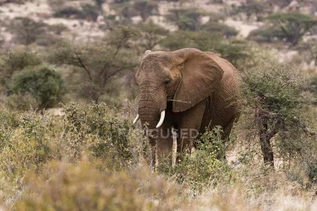 African elephant walking in Kalama conservancy, Samburu, Kenya — Stock Photo