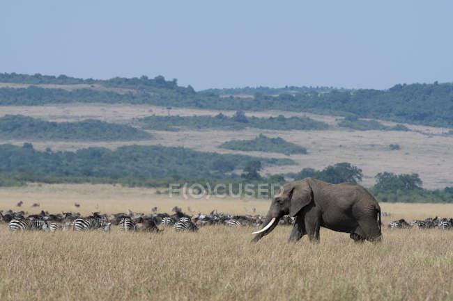 Слон ходьба поблизу зебр траві в Масаї Мара Національний заповідник, Кенія — стокове фото