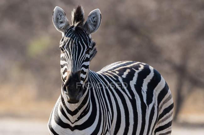 Один прекрасний Burchells Зебра в Калахарі, Ботсвани — стокове фото