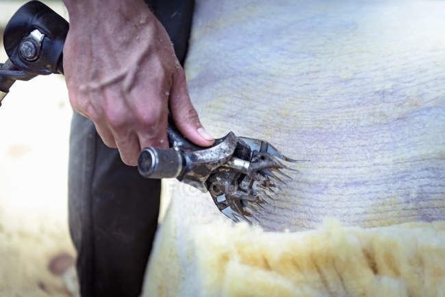 Close up of farmer using electric shears to remove wool from sheep — Stock Photo
