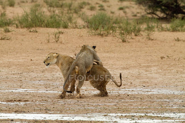 View of two lions fighting, africa — Foto stock