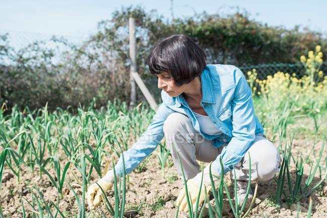 Mature woman weeding vegetable garden — Stock Photo