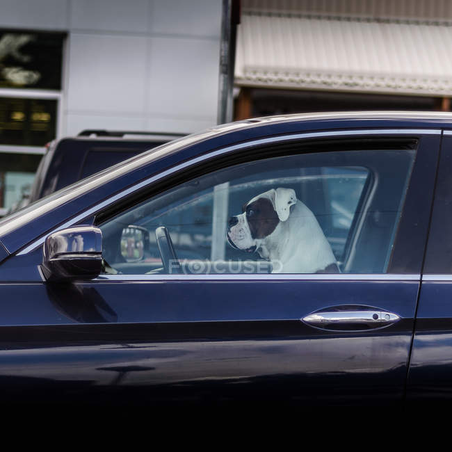 Dog sitting in driving seat of car, side view — Stock Photo