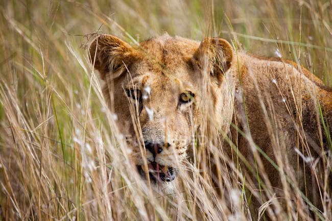 Young Female Lion in grass, Botswana — стоковое фото