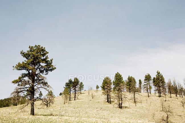 Ялинки на пагорбі в Неваді, Сполучені Штати Америки — стокове фото