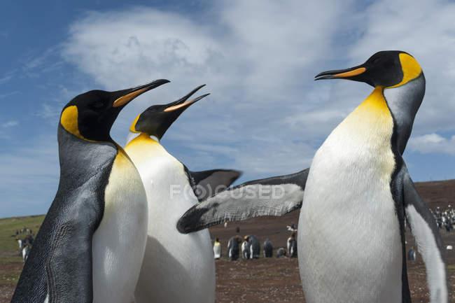 Три королевских пингвина сражаются, Порт-Стэнли, Фолклендские острова, Южная Америка — стоковое фото