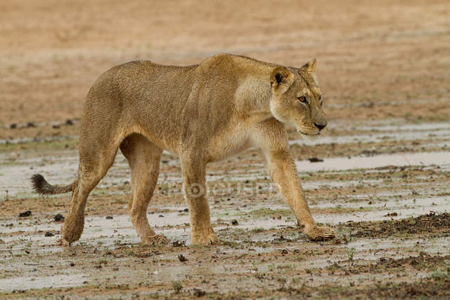 Lioness walking in desert and looking away — Stock Photo
